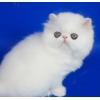 Персидский котенок белого окраса Bodicia c медными глазами